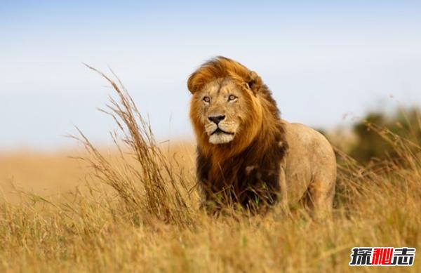 狮子象征着什么?狮子的十大特点和本领(上帝的使者)