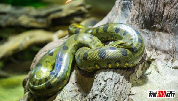 亚马逊雨林有多恐怖?亚马逊雨林十大恐怖动物杀手