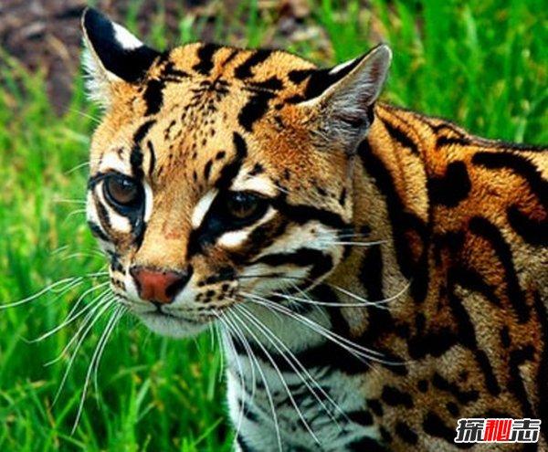 南美洲的动物有哪些?盘点南美洲的十大珍稀动物(附图片)