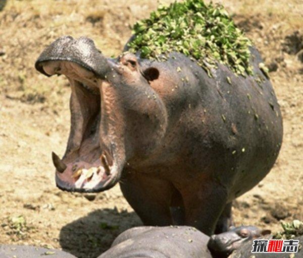食草动物有哪些?不可以养殖的十大食草动物(令人畏惧)