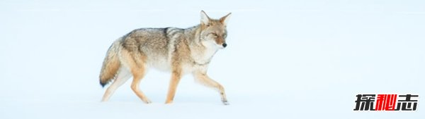 郊狼与狼有什么区别?关于郊狼的10大科普知识