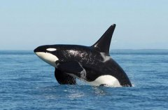 虎鲸有天敌吗 喜欢群居出行阵势庞大(地球上大脑最大的动物)
