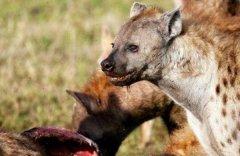 鬣狗为什么不敢掏雄狮 虽凶猛但不敢挑战雄狮