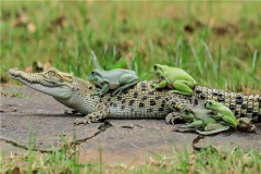 青蛙的祖先是什么?最早出现在白垩纪(同为火蜥蜴祖先)
