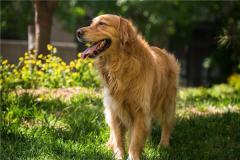 狗的祖先是什么?狗是带有多种基因的组合体(以狼为主)