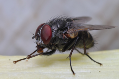 苍蝇的祖先是什么?缅甸矿井发现远古苍蝇琥珀(1亿年前)