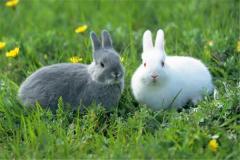 兔子的祖先是什么?兔子的祖先吃肉还是吃草