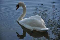 天鹅的祖先是什么?
