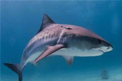 无沟双髻鲨vs虎鲨谁厉害 虎鲨挑衅鲸鱼(更胜一筹)