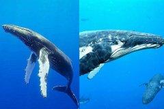 南露脊鲸大还是蓝鲸大?最大蓝鲸是南露脊鲸的2倍(33.5米)