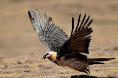 胡兀鹫的寿命多少年?需4-5年完全成熟(寿命长达30-40年)