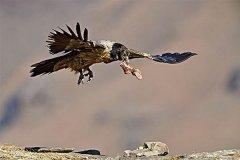 我国哪儿有胡兀鹫?我国西藏分布最广(以尸体骨头为食)