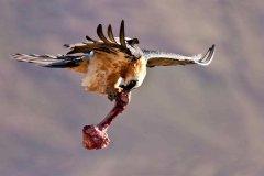 胡秃鹫为什么吃骨头?90%食物来源是骨髓(堪称骨头压碎机)