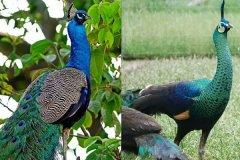 绿孔雀和蓝孔雀的区别是什么?绿孔雀为什么濒危了