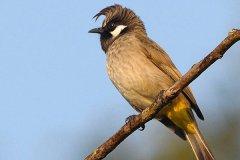 白颊鹎吃什么?拥有帅气飞机头的小型鸟(果实花蜜什么都吃)