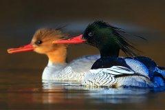 中华秋沙鸭几级保护?第三纪冰川留存下的物种(全球仅1000只)