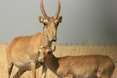 高鼻羚羊分布在哪?中国已区域性灭绝(俄罗斯尚存部分)