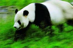 大熊猫最快奔跑速度是多少?最快速度堪比刘翔(时速40公里)