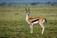 汤氏瞪羚奔跑速度是多少?非洲草原上的短跑亚军(仅次于猎豹)