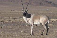 藏羚羊的迁徙路线是什么?最终归属地都是卓乃湖