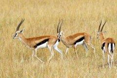 汤氏瞪羚和葛氏瞪羚有什么区别?最明显外貌区别在这里