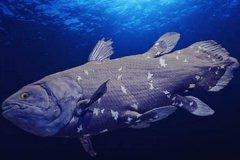 矛尾鱼还有多少只?1952年至今只捕获80条(4亿年前远古鱼类)