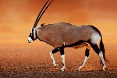 最大的羚羊是什么羊?体重可达1吨体长3米(非洲巨羚)