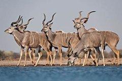 捻角羚是羚羊吗?有着独特的螺旋状大角(是林羚的一种)