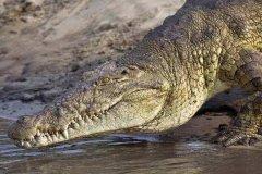 尼罗鳄和湾鳄哪个厉害?湾鳄咬合力可达4500磅(一口咬碎龟背)