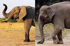 非洲象和亚洲象的区别是什么?这6大外貌特征教你轻松辨认