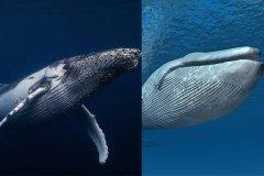 座头鲸和蓝鲸哪个大?蓝鲸比座头鲸长2倍(世界最大动物)
