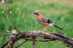 松鸦在什么地方筑巢?什么时候开始繁殖(5-10米的乔木)