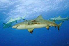 柠檬鲨为什么叫柠檬鲨?灰黄色腹部表皮像柠檬(被人当宠物)