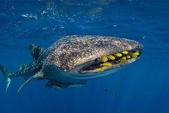 鲸鲨为什么叫豆腐鲨?竟然是形容鲜嫩肉质(最亲人的鲨鱼)