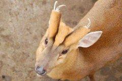 麂子是什么动物?麂子是鹿吗?(从角就能看出差别)