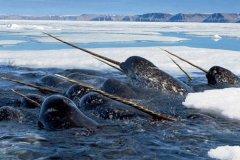 一角鲸的角有什么用?刺破嘴唇的3米长牙(竟然不为打斗)