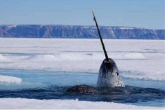 独角鲸的寿命有多长?属于鲸类的正常寿命(独角鲸最长能活50年)