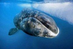 弓头鲸和蓝鲸哪个大?弓头鲸体型堪称第四大鲸鱼(长21米)