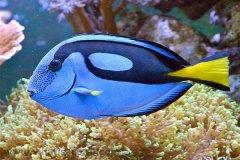刺尾鱼有毒吗?刺尾鱼毒素堪称箭毒蛙的1/10(心脏毒素)