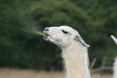 羊驼为什么吐口水?一次竟然能喷射3米远(绿色粘稠胃液)
