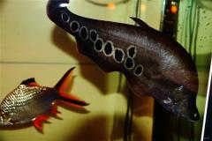 七星刀鱼穿梭在海洋中 就像一把七星刀游弋