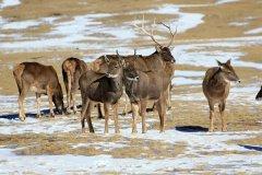 白唇鹿是几级保护动物?为什么会濒危(红名单属易危)