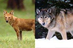 豺狗和狼有什么区别?从尾巴和体型就能看出(豺狗更像狐狸)
