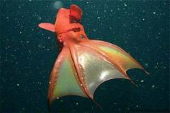 幽灵蛸能处理海洋垃圾 品种罕见外表凶恶