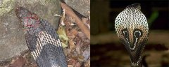 眼镜王蛇和眼镜蛇有什么区别?这4处外貌特征最明显