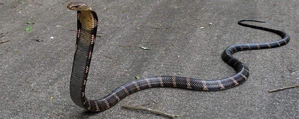 眼镜王蛇为啥叫过山峰?不仅仅是因为速度惊人(毒蛇中体型最大的蛇类)
