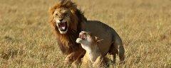 雄狮可以做几年的狮王?