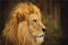 雄狮什么情况下杀母狮 雄狮以大局顾全狮群