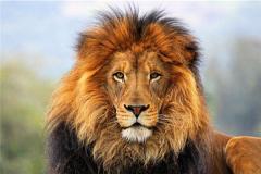 雄狮的一生很悲惨 三大因素造就它们的一生