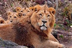 为什么雄狮会杀死幼崽 稳固统治便要无情杀戮